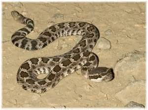 tell me this is not a venomous creature note the tail rattlers to me