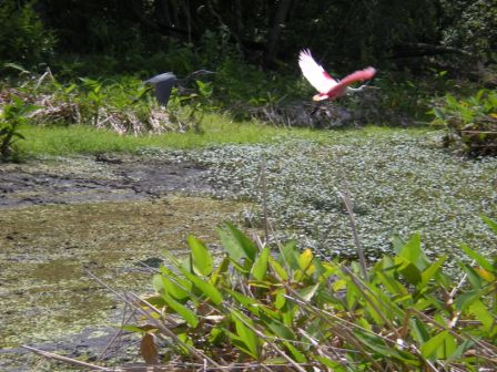 until i downloaded the picture there is a blue heron in flight just